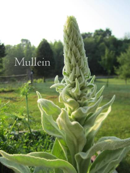 mullein before its bloom